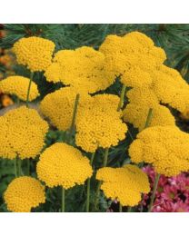 Achillea Cloth Of Gold (A. Filipendula)
