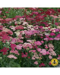 Achillea Summer Berries F2