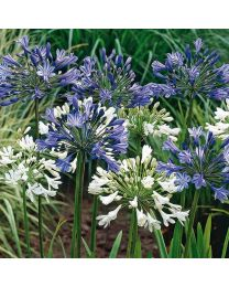 Agapanthus Mixed - 4 Bulbs