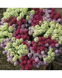 Alyssum Wonderland Cotton Candy