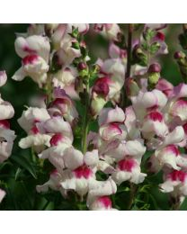 Antirrhinum Lucky Lips