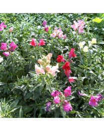 Antirrhinum Magic Carpet