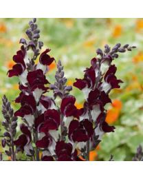 Antirrhinum Night And Day
