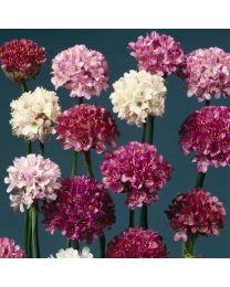 Armeria Large Flowered Mixed