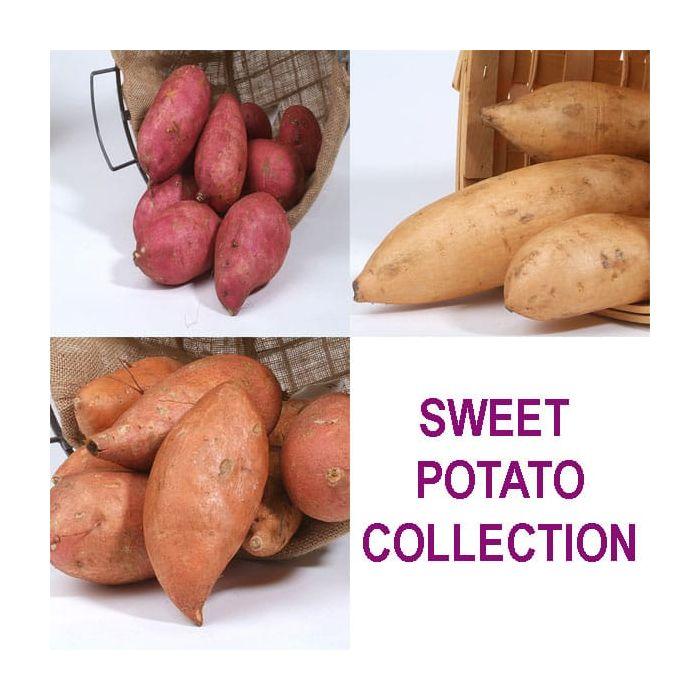 Sweet Potato Collection 1 Of Each Beauregardbonita Muraski May Delivery